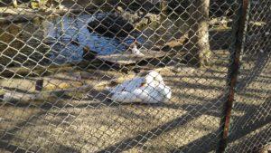 さくら公園 こども動物園 白鳥